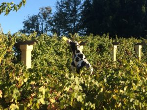 Cow catching frisbee in Castory Cellars vineyard