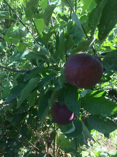 Arkansas Black apple photo