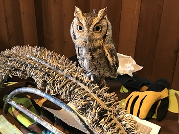 Screech owl image