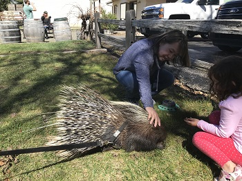 Morocco the African Porcupine image